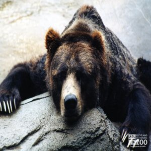 Bear, Grizzly Close-up4
