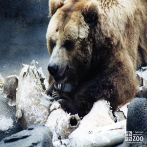 Bear, Grizzly6
