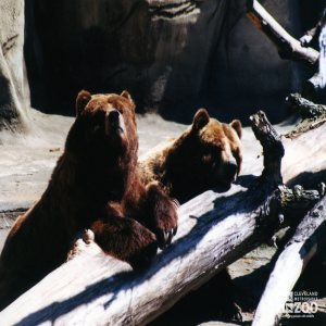 Bears, Grizzly2