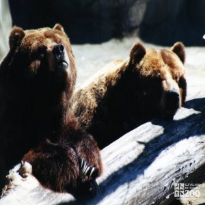 Bears, Grizzly Close-up