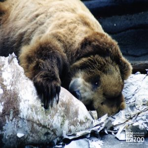 Bear, Grizzly8