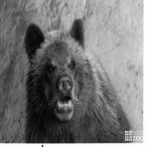 Bear, Grizzly Close-up6