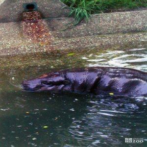 Hippopotamus, Nile4