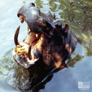 Hippopotamus, Nile Close-up2