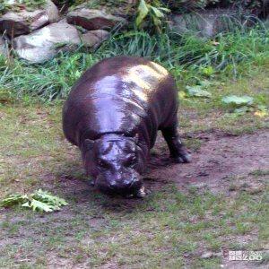 Hippopotamus, Nile10