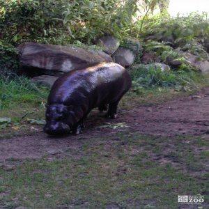 Hippopotamus, Nile11