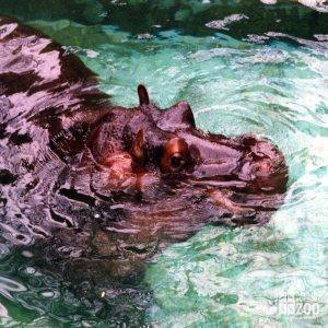 Hippopotamus, Nile14