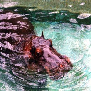 Hippopotamus, Nile15