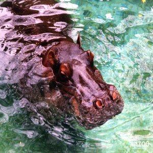 Hippopotamus, Nile17