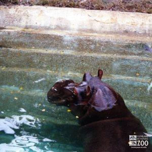 Hippopotamus, Nile21