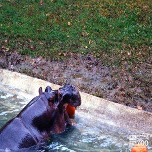 Hippopotamus, Nile23