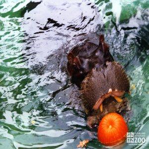 Hippopotamus, Nile24