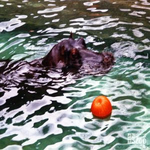 Hippopotamus, Nile25