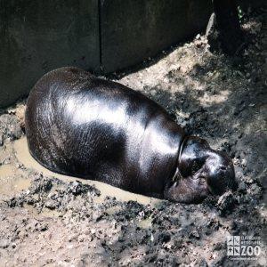 Hippopotamus, Nile26