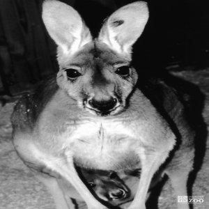 Kangaroo, Red