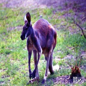 Kangaroo, Red3