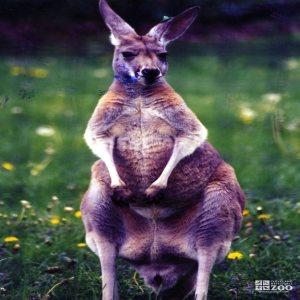 Kangaroo, Red4