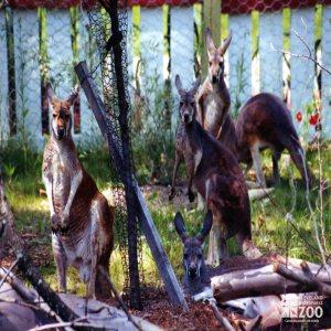 Kangaroos, Red