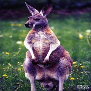 Kangaroo, Red5