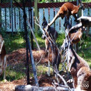 Kangaroos, Red2