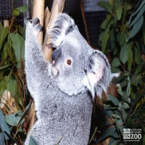Koala, Queensland3