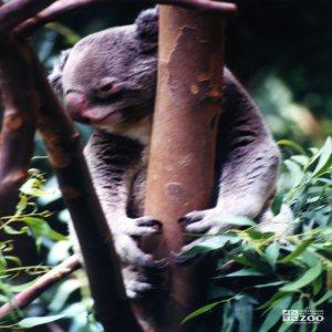 Koala, Queensland6