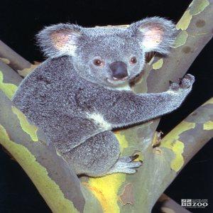 Koala, Queensland8