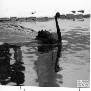 Black Trumpeter Swan 1987