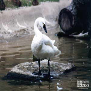 Trumpeter Swan In Profile
