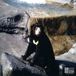 Malayan Sun Bear Looking Left 1987
