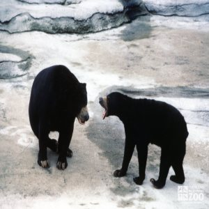 Malayan Sun Bears Talking To Each Other