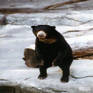 Malayan Sun Bear Standing Up