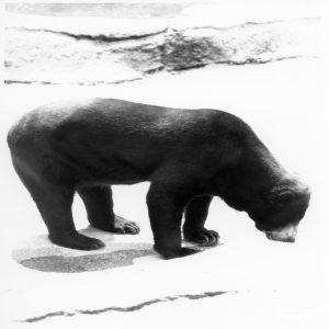 Malayan Sun Bear Black and White
