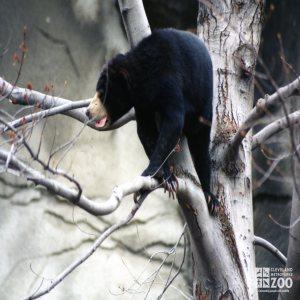 Malayan Sun Bear Standing In Tree