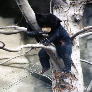 Malayan Sun Bear Hanging Out In Tree
