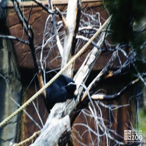Malayan Sun Bear Resting In Tree