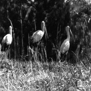 White Storks Black and White