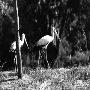 White Storks Black and White 2