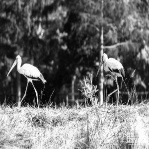 White Storks Walking In Field