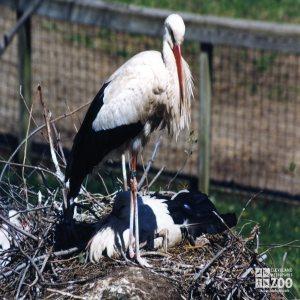 White Stork In Profile