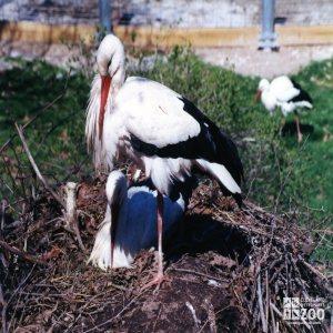 White Storks Resting In Nest