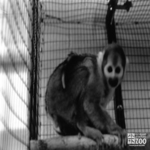 Common Squirrel Monkey Side Profile Black and White