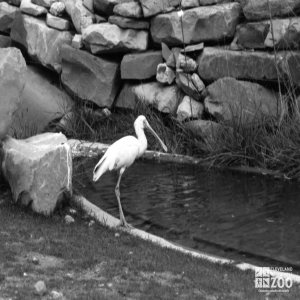 Roseate Spoonbill Black and White