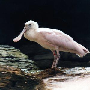 Roseate Spoonbill Standing On Rock