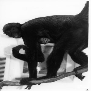 Robust Black Spider Monkey With Baby 1987