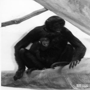 Robust Black Spider Monkey With Baby 2 1987