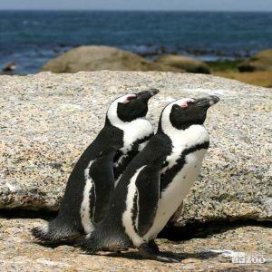 African Penguin Pair