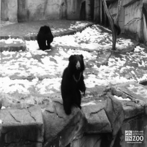 Sloth Bear Black and White 1983
