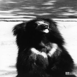 Sloth Bear Black and White Sitting Up 1983