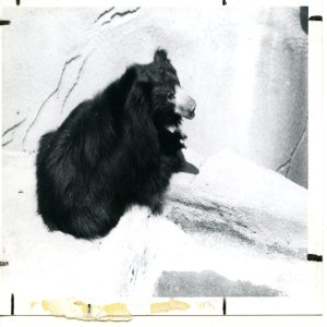 Sloth Bear Black and White Laying On Rock 1983